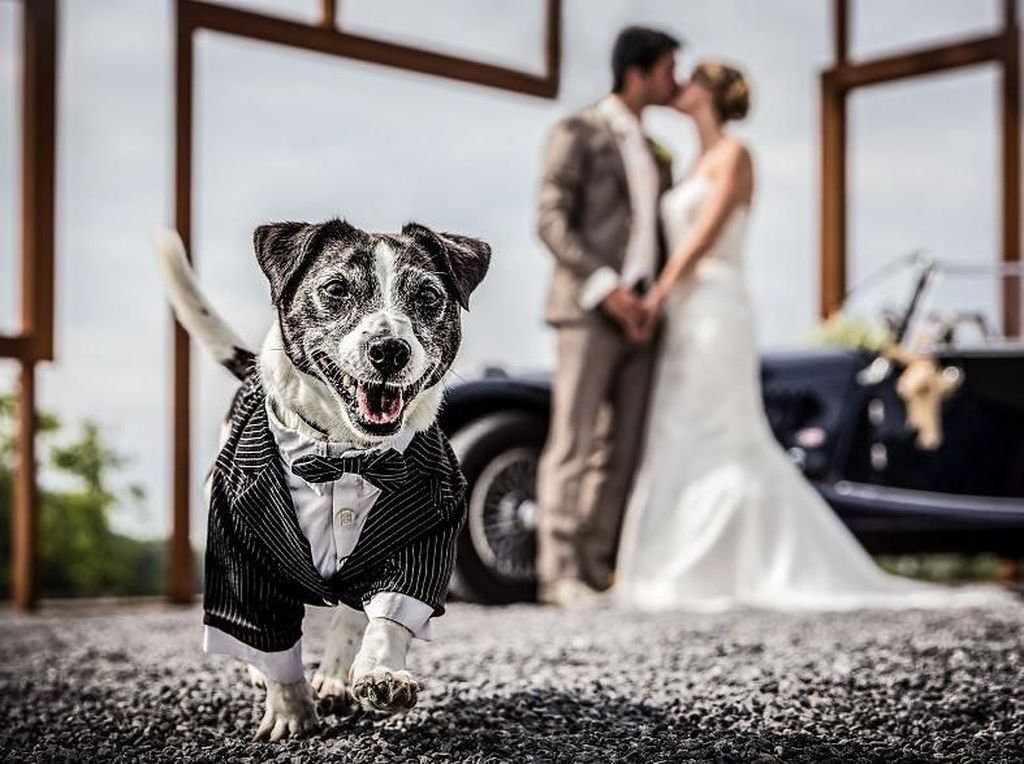 Anjing berjas dengan latar belakang kedua mempelai. Foto: Bored Panda