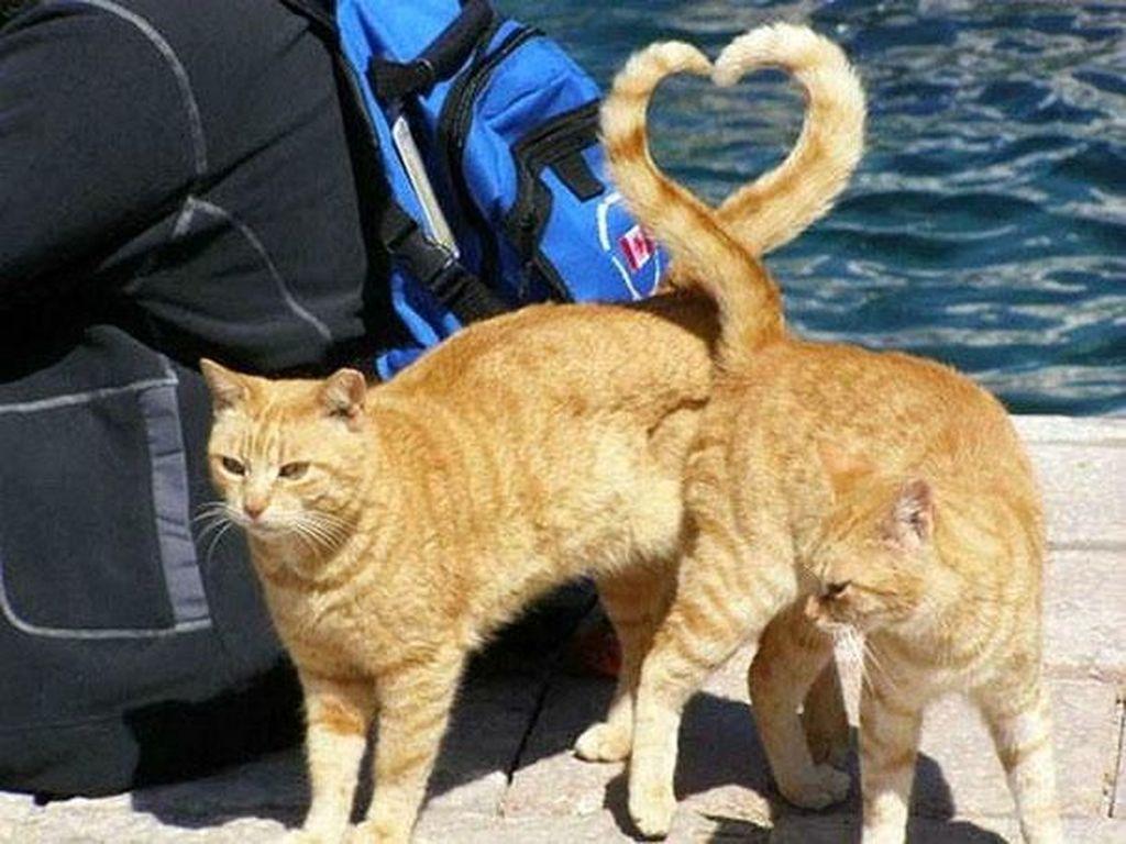 Lucu! tanda love dari ekor kedua kucing ini. (Foto: Boredpanda)