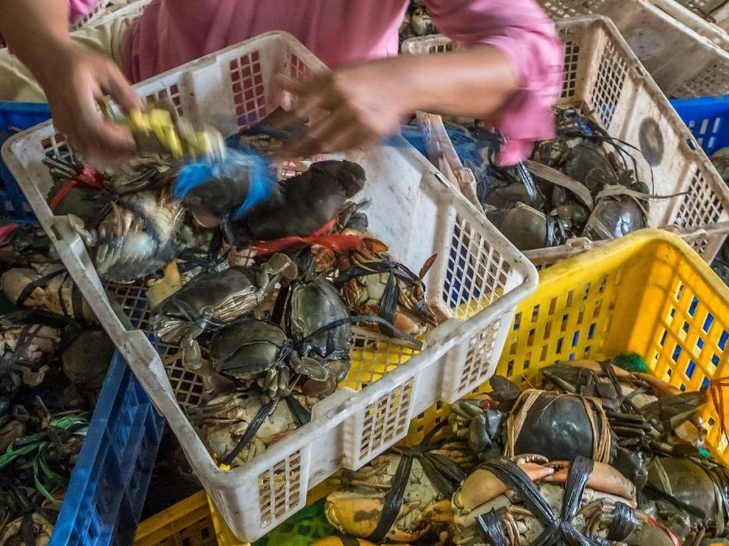 Menurut pengepul setempat dalam sebulan terakhir harga kepiting mengalami kenaikan bertahap dari Rp100.000 per kilogram menjadi Rp150.000 per kilogram karena kurangnya pasokan dari nelayan, menyusul cuaca buruk yang menyebabkan tangkapan menurun. Aji Styawan/Antara Foto.