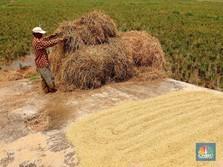Selain Sumatera-Sulawesi, Petani di Jawa Siap Panen Raya