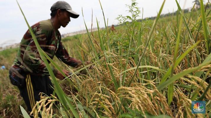 Panen Raya Sudah Mulai di Jambi, Produksi 6,8 Ton/Hektare