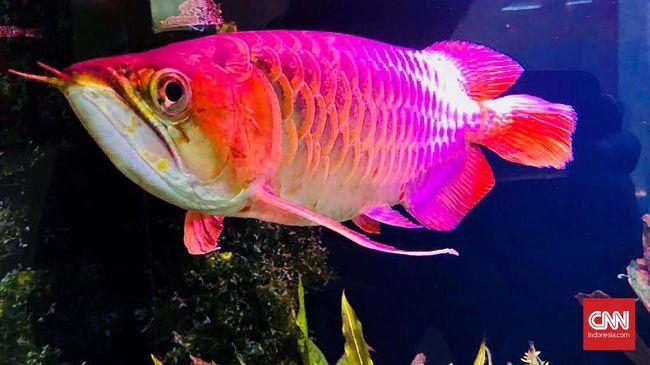 Hasil gambar untuk ikan arwana