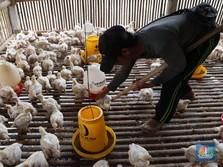 Harga Ayam Naik, Reli Saham Charoen Pokphand Berlanjut