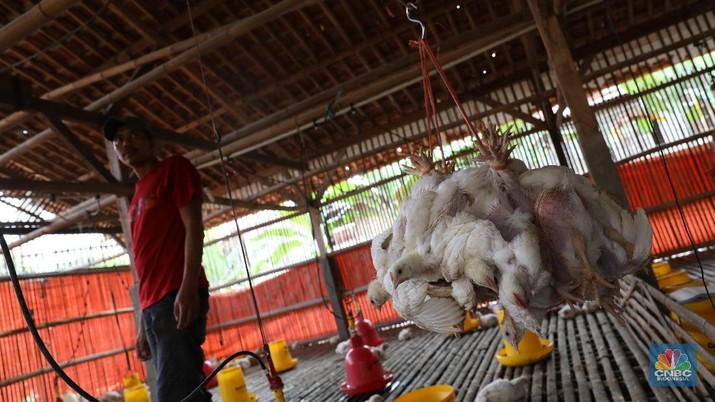 Bibit Ayam Dimusnahkan, Saham Unggas Melambung