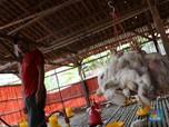 AS Naikkan Bea Masuk Poultry, Bagaimana Nasib JPFA Dkk?
