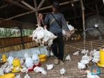 Peternak Ayam Potong Menderita, 3 Saham Poultry Babak Belur