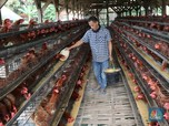 Harga Ayam Broiler Akan Dibatasi Rp 17.500 - Rp 19.000/Kg