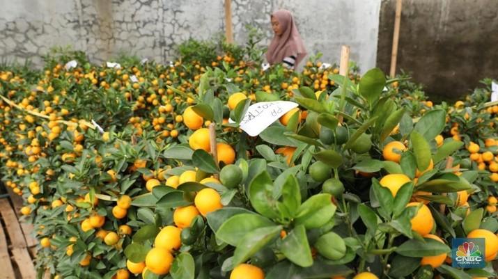 Pohon jeruk Imlek yang diyakini sebagai simbol keberuntungan dan kemakmuran itu diminati pembeli sebagai dekorasi rumah, hotel, hingga pusat perbelanjaan.