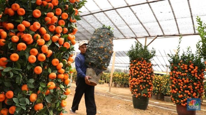 Laris Manis Si Kecil Jeruk Impor dari Taiwan