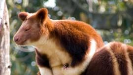 Mengenal Kanguru Pohon dari Papua