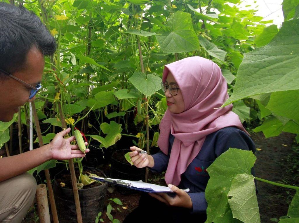 Mereka tengah melakukan penelitian untuk mendapatkan varietas unggul tanaman mentimun. Pool/Ewindo.