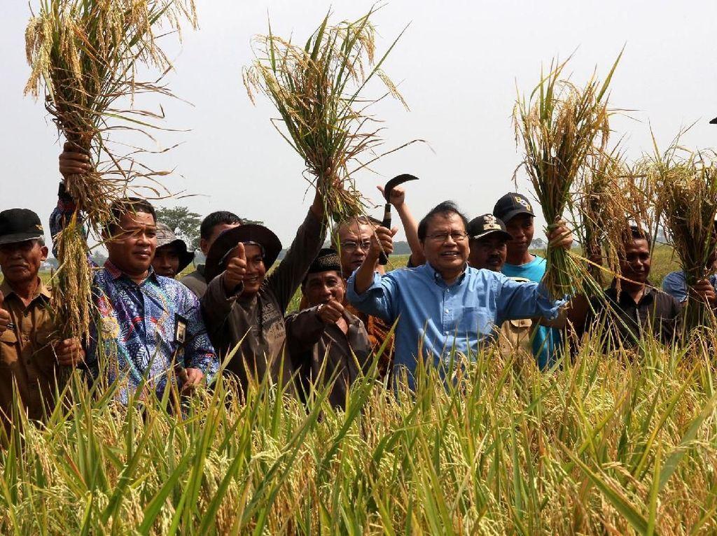 Rizal Ramli Panen Raya Padi di Banten