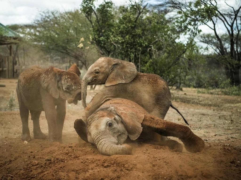 Anak gajah yatim piatu yang direhabilitasi di suaka margasatwa Reteti, Kenya Utara - karya Ami Vitale untuk Nasional Geograpichs Foto: World Press Photo/The Washington Post
