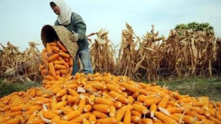 RI memutuskan untuk mengimpor jagung maksimal 100.000 ton.