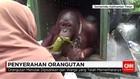 Cerita Haru Penyerahan Orangutan Peliharaan Warga