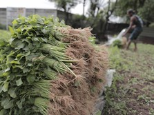 Petani Bayam Keluhkan Penurunan Kualitas Tanaman