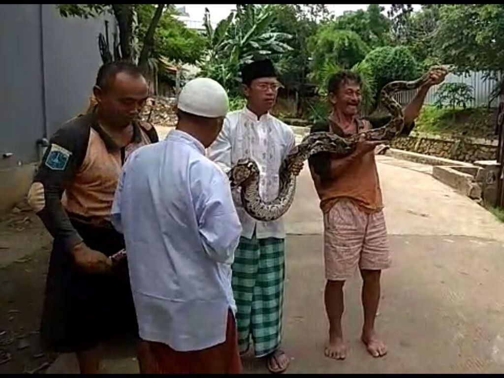 Pas kepala ularnya nongol, langsung salah satu tim kami nangkap. Itu ular sanca kembang, panjangnya sekitar 5 meter, jelasnya. (dok UPK Badan Air Kecamatan Mampang)