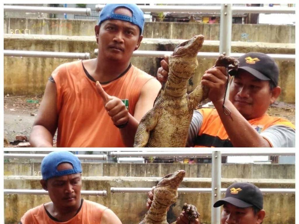 Biawak gemuk ini juga ditemukan di Kali Mampang (dok UPK Badan Air Kecamatan Mampang)