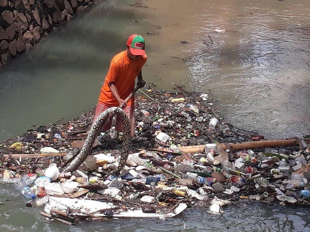 Ular sanca sering ditemukan di tumpukan sampah di Kali Mampang (dok UPK Badan Air Kecamatan Mampang)