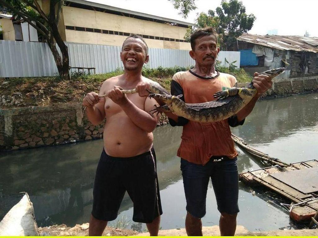 Ini biawak yang ditangkap di Kali Mampang pada 19 September 2017. (dok UPK Badan Air Kecamatan Mampang)