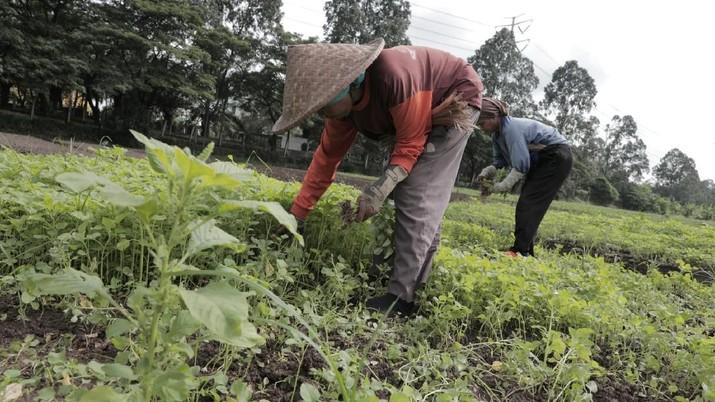 RI Terancam Krisis Petani: Orang Jadi Petani karena Terpaksa!