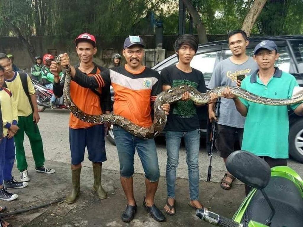 Penemuan di Kali Mampang: Sanca, Biawak hingga Sofa
