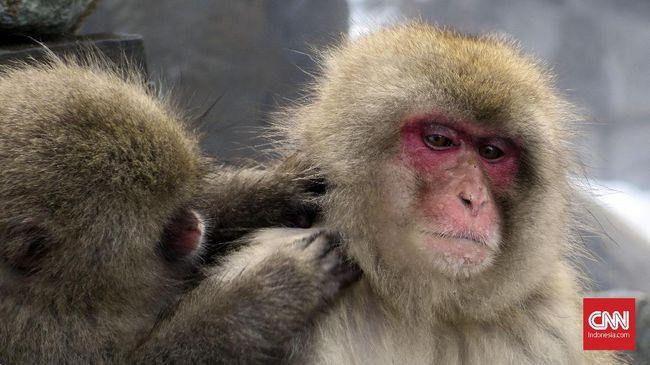 Bak Film Laga, Kawanan Monyet Berakrobat Terjang Salju