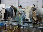 Awas Sapi Gila, China Larang Impor Daging Inggris