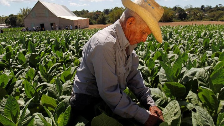 Cerutu merupakan salah satu komoditas ekspor teratas Kuba karena menjadi produsen terbaik di dunia.