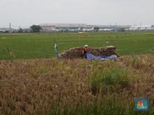 Harga Gabah Anjlok Saat Pak Tani Panen, Ini Pembelaan Mentan