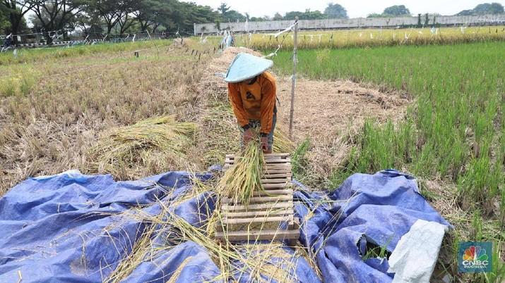 Buruh tani padi memanen padi diKawasan persawahan Primeter Selatan, Tangerang, Banten, Kamis (1/3/2018). Badan Pusat Statistik (BPS) mencatat harga rata-rata Gabah Kering Panen (GKP) di tingkat petani sebesar Rp 5.207,00 per Kg atau turun 3,84 persen dan di tingkat penggilingan Rp 5.305,00 per Kg di Februari 2018. (CNBC Indonesia/Muhammad Sabki)