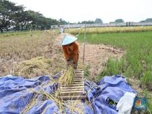 RI Terancam Krisis Pangan, Produksi Padi Digenjot