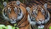 Harimau Sumatera, di Kebun Binatang Sumatera, Indonesia.CITES mengatakan, ancaman kepunahan terhadap si 'Kucing Besar' bisa membuat bola salju kepunahan hewan di dunia semakin besar, karena selama ini kawanan tersebut terkenal sebagai Raja Hutan yang mampu melindungi diri di alam. (AFP PHOTO/Boris Roessler)