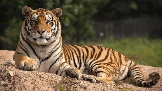 Harimau Siberia di Taman Hengdaohezi, China. Ancaman kepunahan mereka bukan hanya perubahan iklim, namun juga ulah manusia yang gemar wisata berburu atau menganggap mereka hama yang mengancam nyawa. (AFP PHOTO/Nicolas Asfouri)