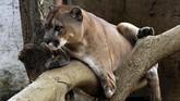 Puma di kawasan penangkaran Villa Lorena, Kolombia. Menolak konsumsi yang berasal dari tubuh si 'Kucing Besar', seperti mengenakan mantel dari kulit macan tutul, juga termasuk langkah penyelamatan populasi mereka. (AFP PHOTO/Luis Robayo)