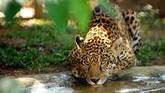 Jaguar di kawasan penangkaran Petro Velho, Brazil. Saat ini, jumlah si 'Kucing Besar' juga semakin berkurang. Masing-masing spesies berjumlah kurang dari 30 ribu ekor. (AFP PHOTO/Evaristo SA)