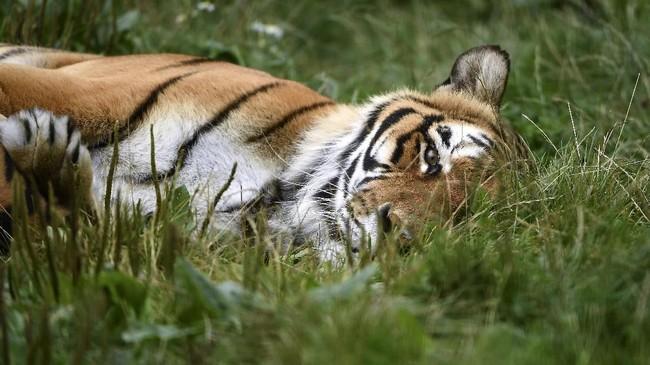 Harimau Bengal di penangkaran milik Lion Foundation di Belanda.Hari Margasatwa Dunia (World Wildlife Day) diselenggarakan setiap 3 Maret. Tahun ini, temanya penyelamatan kawanan si 'Kucing Besar' dari kepunahan. (AFP PHOTO/John Thys)
