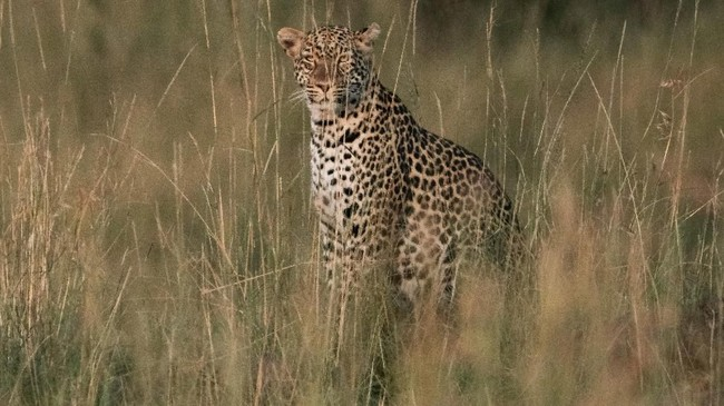Macan Tutul di kawasan konservasi Masai Mara, Kenya.Tahun ini, Sekertariat Konvensi Perdagangan Internasional Spesies Fauna dan Flora (CITES) dari PBB menetapkan kampanye tema 'Kucing Besar, Spesies yang Terancam Punah' untuk hari peringatan tersebut. (AFP PHOTO/Yasuyoshi Chiba)