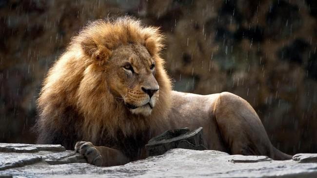 Singa di Kebun Binatang Valle del Cauca, Kolombia.Jika tak bisa turun langsung ke kawasan penangkaran, bantuan berupa donasi untuk konservasi si 'Kucing Besar' bisa disalurkan melalui kelompok-kelompok pecinta hewan atau lingkungan yang rutin menggelar kampanye. (AFP PHOTO/Luis Robayo)