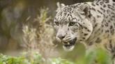 Macan Tutul Salju, di Finlandia. Salah satu usaha penyelamatan yang terbilang berhasil ialah konservasi Macan Tutul Salju di Mongolia. Namun tetap saja, hasil konservasi tak berbanding dengan ribuan ekor yang sudah tewas di tangan pemburu. (AFP PHOTO/Jarno Mela)
