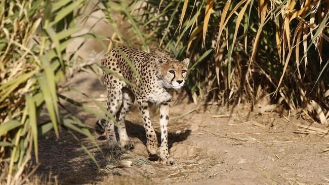Cheetah betina di Taman Pardisan, Iran.Selain cheetah, kampanye tahun ini juga fokus terhadap penyelamatan populasi si 'Kucing Besar', seperti macan tutul, macan tutul salju, jaguar, harimau, singa, dan puma. (AFP PHOTO/Atta Kenare)