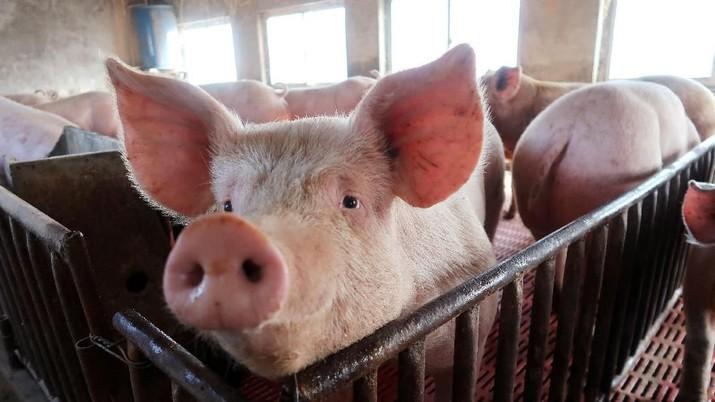 Satu dari empat babi yang diternakkan di AS dijual ke luar negeri, dan China adalah salah satu konsumen daging babi terbesar dunia.