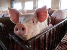 Buset! Merana Karena Babi, China Buat Daging Palsu