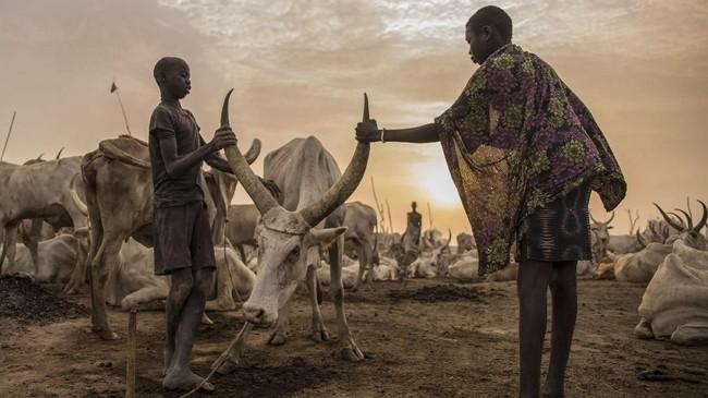 Satu sapi dapat dijual dengan harga hingga US$500 atau setara Rp6,8 juta. Tak heran, sekitar 350 ribu sapi dan ternak lainnya dicuri, dan lebih dari 2.500 orang tewas dalam pertikaian akibat pencurian ternak. (AFP Photo/Stefanie Glinski)