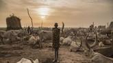 Empat tahun diguncang perang sipil, sektor agrikultur negara ini mati. Suku Dinka pun semakin menjaga ternaknya yang dapat dijual dengan harga mahal. (AFP Photo/Stefanie Glinski)