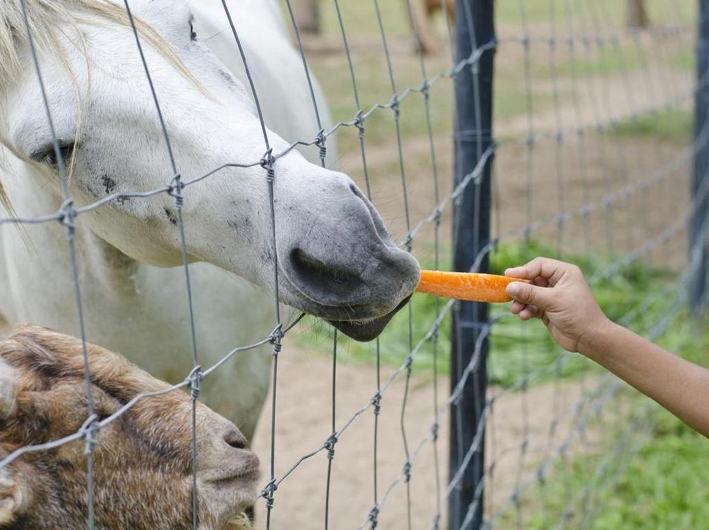 Ratu Elizabeth biasanya akan memesan wortel sebagai snack pagi. Bukan untuk dirinya, melainkan untuk kudanya. Ratu juga memiliki permintaan khusus tentang penyajian wortel ini agar sang kuda tidak menggigit tangannya. Foto: iStock