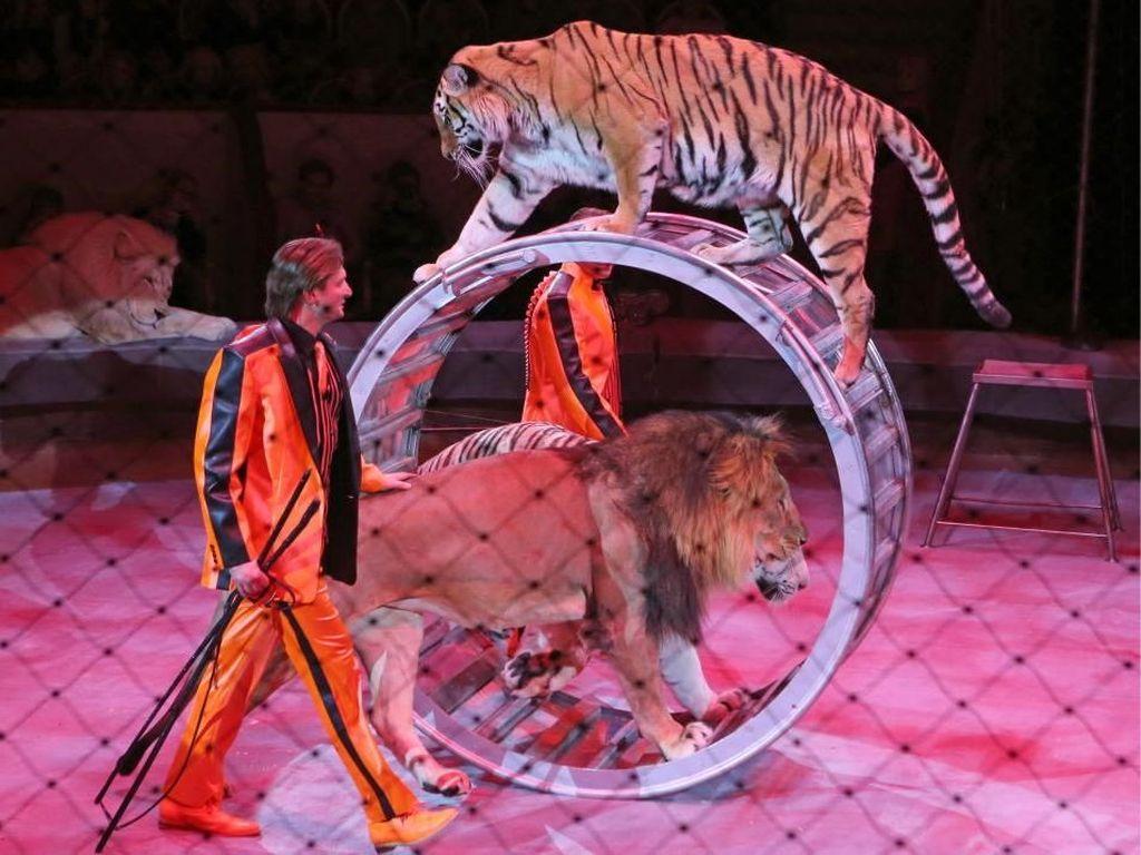 Lebih dari separuh pemerintah lokal Inggris telah menolak untuk mengizinkan sirkus yang memanfaatkan hewan untuk tampil di wilayah mereka.