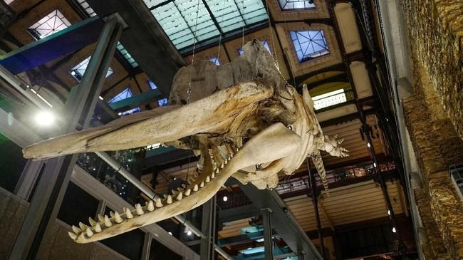 Museum yang bernama asli Muséum national d'Histoire naturelle atau disingkat MNHN ini merupakan museum alam nasional Perancis dan pendidikan tinggi yang juga bernaung di bawah bendera Universitas Sorbonne. (AFP PHOTO / Ludovic MARIN)
