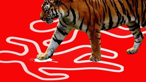 Harimau Bonita Ditangkap!