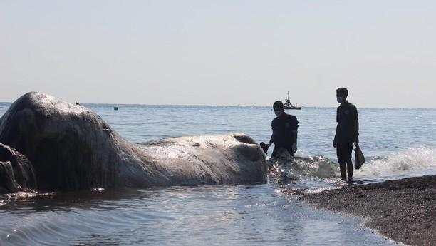 Paus-paus Terdampar di Perairan Nusantara: Dari Bali sampai Aceh